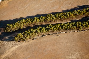 Mallee trees. courtesy of Cliff Winfield, Dept of Parks and Wildlife WA_...